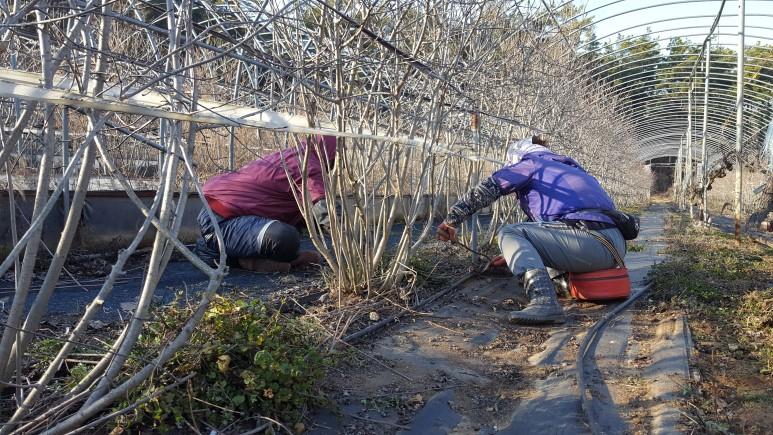 아로니아잡초작업.jpg